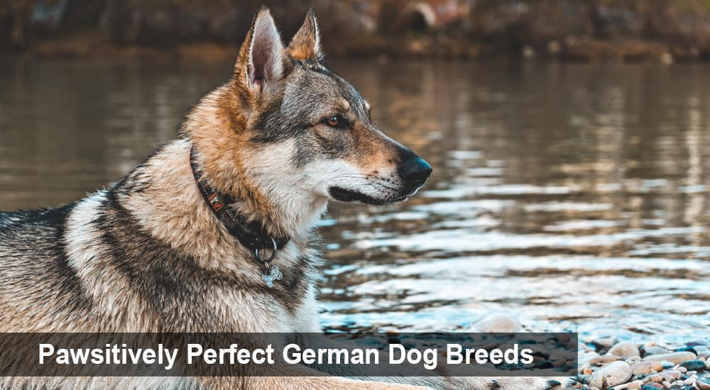 Pawsitively Perfect German Dog Breeds