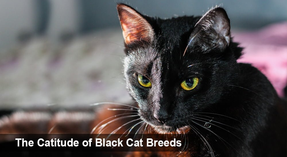 The Catitude of Black Cat Breeds
